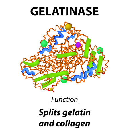 Molecular structural chemical formula gelatinase. Functions of the enzyme of the digestive tract gelatinase. Cleaves gelatin and collagen. Infographics. Vector illustration on isolated background
