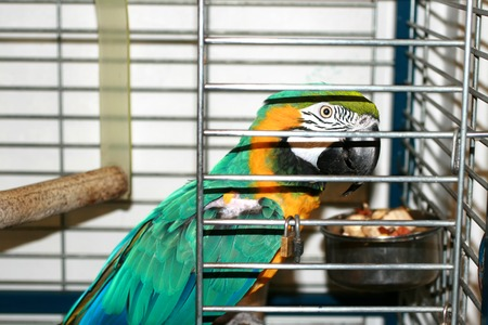 Macaw parrot in a cage. Ara parrot.