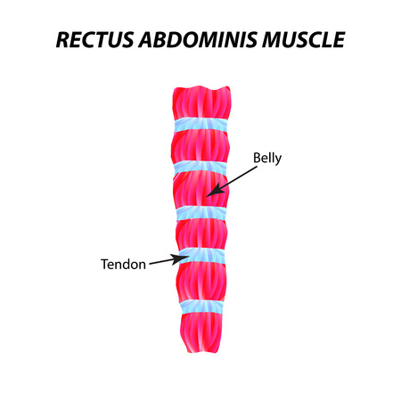 The structure of skeletal muscle. rectus abdominis muscle. Tendon. Infographics. Vector illustration on isolated background.