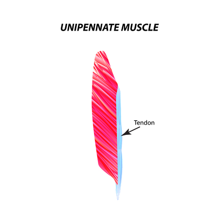 The structure of skeletal muscle. Unipennate muscle. Tendon. Infographics. Vector illustration on isolated background