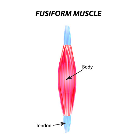The structure of skeletal muscle. fusiform muscle. Tendon. Infographics. Vector illustration on isolated background