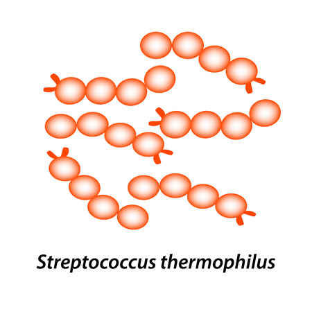 Streptococcus thermophilus. Good intestinal microflora. probiotic, prebiotic. Infographics. Vector illustration on isolated background