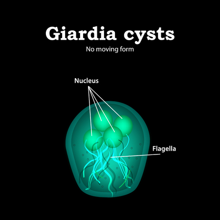 The structure of Giardia cysts. Vector illustration.
