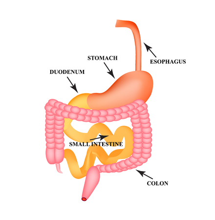 Organs of the gastrointestinal tract. Esophagus, stomach, duodenum, small intestine, colon. Digestion. Infographics. Vector illustration on isolated background.