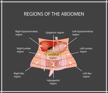 Abdominal Region. The liver, gallbladder, pancreas, stomach, duodenum, intestine, small intestine, large intestine, colon, rectum, apendiks, cecum. Vector illustration. Illustration