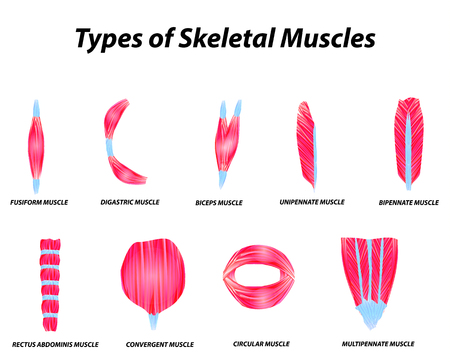 The anatomical structure of skeletal muscles. Infographic. Vector illustration on isolated background