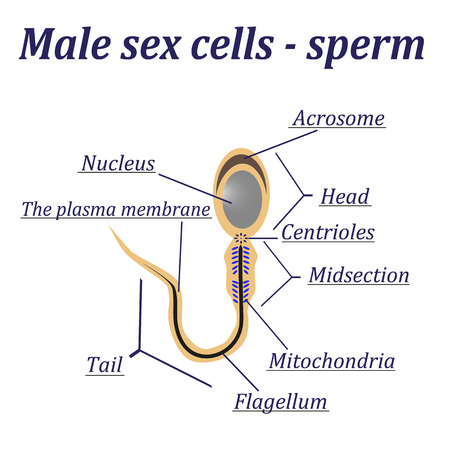 Diagram of the male cells - sperm Vector Illustration