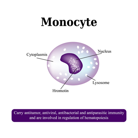 The anatomical structure of monocytes. Blood cells. Vector illustration