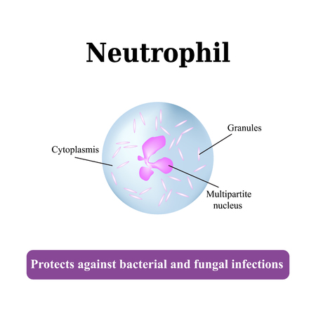 The structure of the neutrophil. Vector illustration.