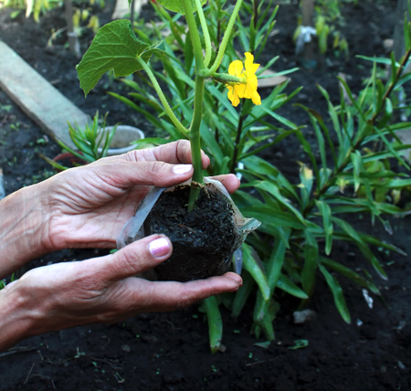 A cucumber seedling in the hands with roots. Planting a plant