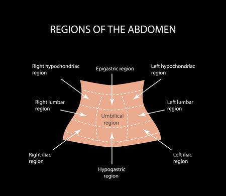 Abdominal Region. Vector illustration  on a black background Ilustração