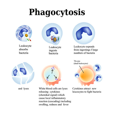 Phagocytosis. The process of destroying bacteria by leukocytes. Vector illustration isolated on white background