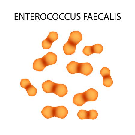 Enterococcus faecalis. Pathogenic flora. The bacterium causes intestinal diseases. Infographics. Vector illustration. Illustration