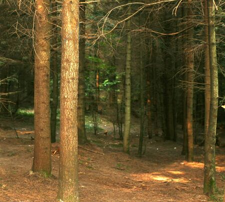 Dense pine forest. Scenic area. Picturesque beautiful nature.