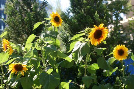Yellow sunflowers are growing. Beautiful sunflower flowers. Stok Fotoğraf