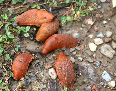 Large slugs of orange color. Red slugs. 스톡 콘텐츠