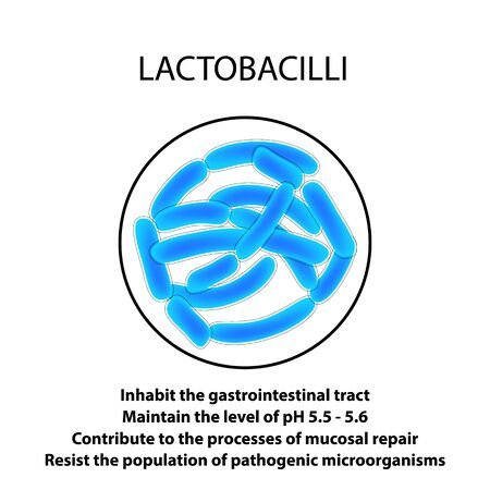 Structure and function of the Lactobacillus. Infographics. Vector illustration on isolated background. Иллюстрация