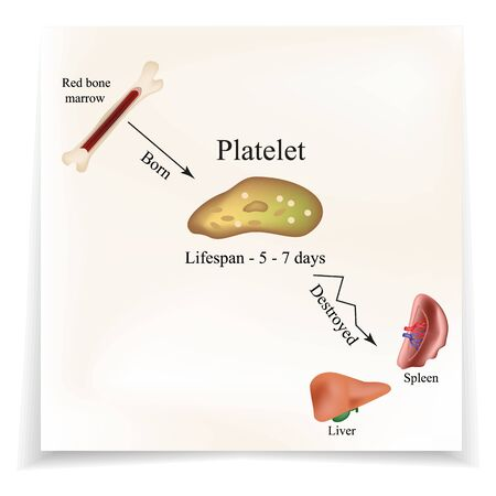 Limbo platelets in the bone marrow. Dieback of platelets in the spleen, the liver. The life of the platelet. Infographics. Vector illustration.