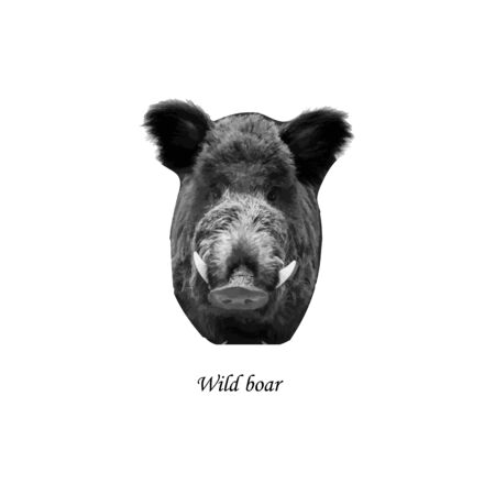 A wild boar. Vector illustration on isolated background