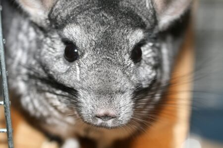 Chinchilla is gray. Animal rodent. Animal with beautiful fur. Banco de Imagens
