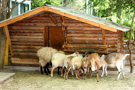 Wooden house. A herd of goats and a sheep eat in the trough