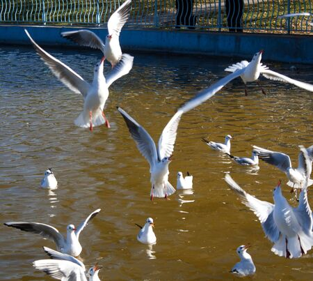 Gulls swimming in the pond. Seagulls flying over water. Stock Photo