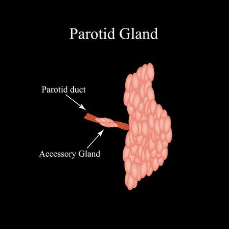 Parotid salivary gland. The structure of the parotid salivary gland. Vector illustration on isolated background