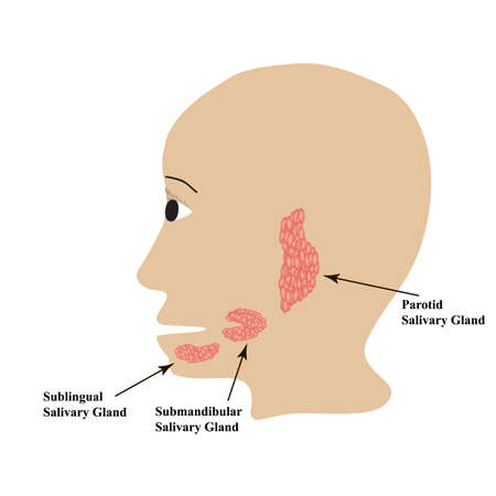 Parotid salivary gland. Submandibular salivary gland. Sublingual salivary gland. Vector illustration on isolated background