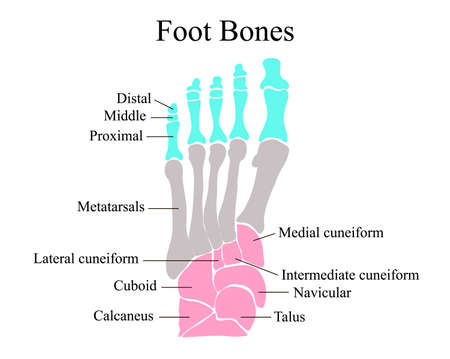Anatomical structure of the bones of the foot. Vector illustration. Vector Illustration