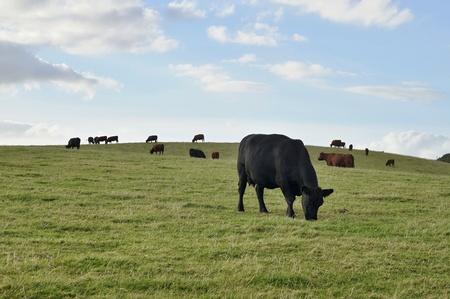 pastoral scenery: Cow on the Meadow in Devon