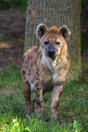 Stare of spoted hyena on the grass with tree in background.