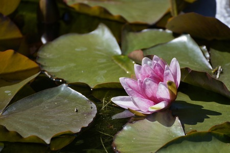 pink water lily. Green leaves.