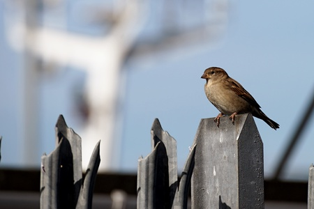 the sparrow: House sparrow sitting on the metal fence. Blue Sky at background.