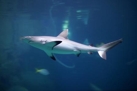 Danger Grey Reef Shark in the ocean. Blue ocean water and rock at background.