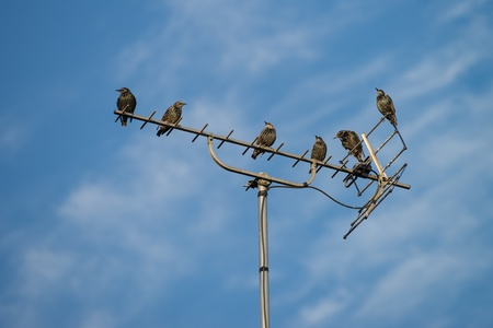 Starlings sitting on the tv antenna. Blue cloudy sky at background. 版權商用圖片