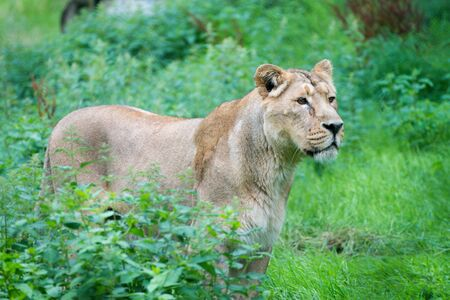 Graceful female lion lurking in the grass, waiting for its prey. Imagens