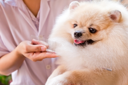 pomeranian after shower with comb photo