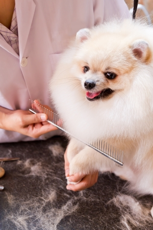 a pomeranian after shower with comb Stock Photo - 13719906