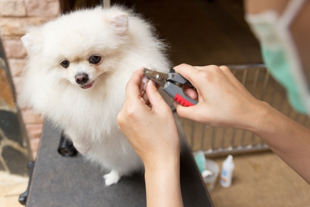 a pomeranian after shower with cut nail