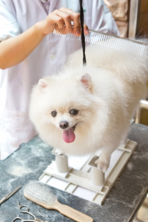 a white pomeranian is cutting photo