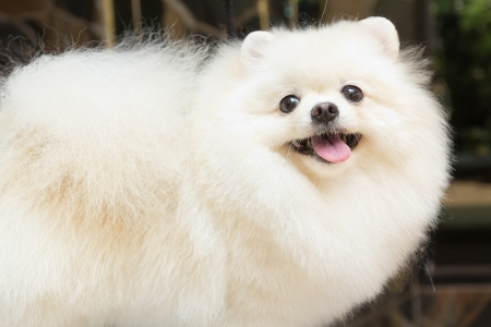 a white pomeranian smile photo