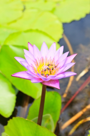 Purple lotus with many bee in nature photo