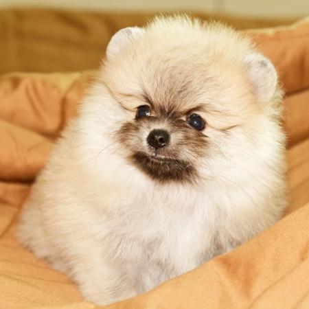 Little cream pomeranian on bed photo