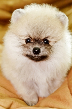Cute little cream pomeranian on bed photo