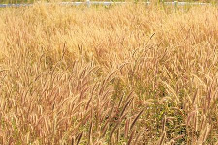 wild grass: Hierba salvaje en el fondo de viento