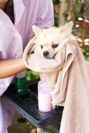 Bath time for white pomeranian shower in garden photo
