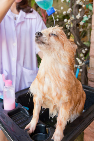 Bath time for brown pomeranian shower in garden photo