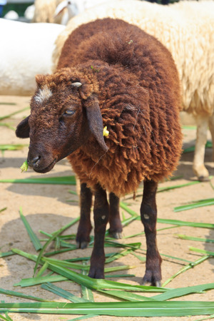 black and white farm animals: Black sheep be happy is eating grass in farm