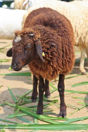 oveja negra: ovejas negro sea feliz est� comiendo hierba en la granja Foto de archivo