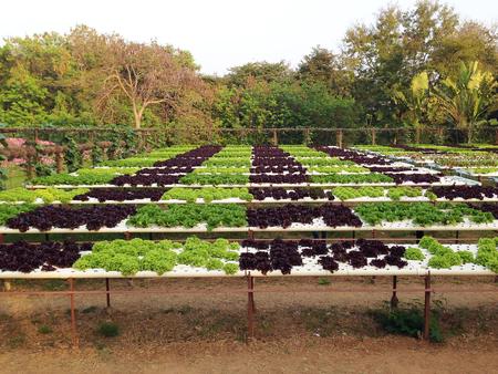 hydroponic: Organic hydroponic vegetable cultivation farm